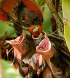 Cardinal masculin très rouge alimentant ses bébés dans le nid Images stock