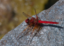 Cardinal Meadowhawk Stock Photography