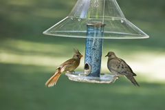 Cardinal and Mourning Dove stock image