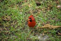 Cardinal na grama fotografia de stock