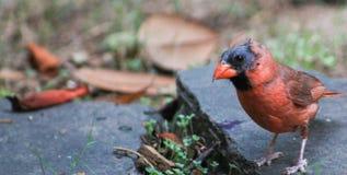 1 Cardinal-na muda masculino Fotos de Stock