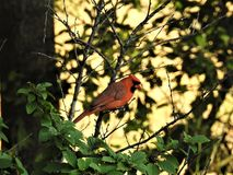 Cardinal in the Nankink Cherry Bush. Just happened to notice this male when I walked by a window Stock Photo