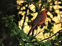 Cardinal in the Nankink Cherry Bush. Just happened to notice this male when I walked by a window Royalty Free Stock Photo