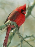Cardinal nordique 2 images stock