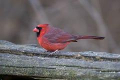 Cardinal nordique Images libres de droits