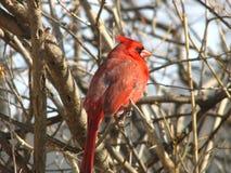 Cardinal nordique - 3 Photographie stock libre de droits