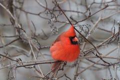Cardinal nordique Photos stock