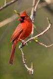Cardinal nordique Photographie stock