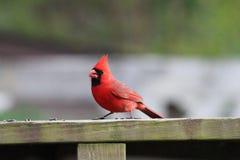 Cardinal nordique 1 photographie stock libre de droits