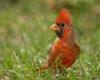 Cardinal nordique au sol photographie stock