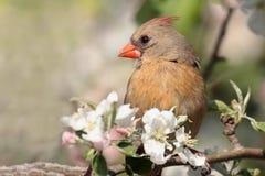 Cardinal nordique (cardinalis) Image stock