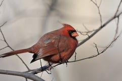 Cardinal nordique : Cardinalis de Cardinalis Photo stock