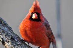 Cardinal nordique : Cardinalis de Cardinalis Photo libre de droits