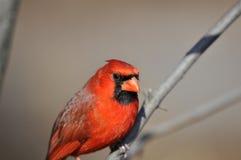 Cardinal nordique : Cardinalis de Cardinalis Photos libres de droits