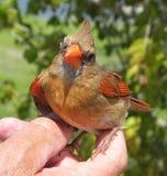 Cardinal nordique (cardinalis de cardinalis) Images libres de droits