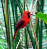 Cardinal nordique (cardinalis de cardinalis) Image libre de droits