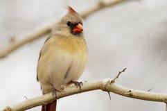 Cardinal nordique féminin Photo libre de droits