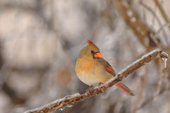 Cardinal nordique féminin photo stock