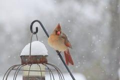 Cardinal nordique féminin Photos stock