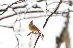 Cardinal nordique féminin avec la neige Photos libres de droits
