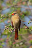 Cardinal nordique féminin (cardinalis) images libres de droits