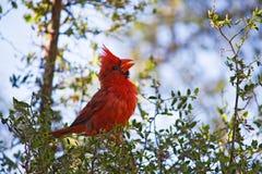 Cardinal nordique mâle été perché photo stock