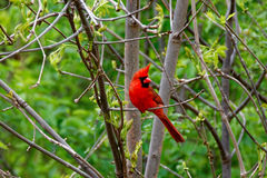 Cardinal nordique mâle été perché image stock