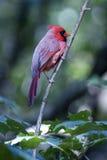 Cardinal nordique - mâle Image stock