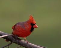 Cardinal nordique mâle Photographie stock libre de droits