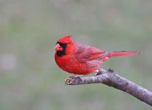 Cardinal nordique mâle Photo libre de droits