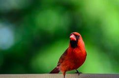 Cardinal nordique mâle Image libre de droits