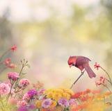 Cardinal nordique mâle photos libres de droits