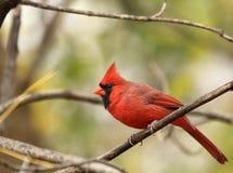 Cardinal nordique mâle, cardinalis de Cardinalis Photo libre de droits