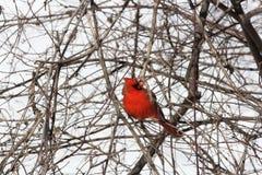 Cardinal, Northern (Cardinalis cardinalis) Stock Images