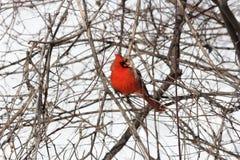 Cardinal, Northern (Cardinalis cardinalis) Stock Photography