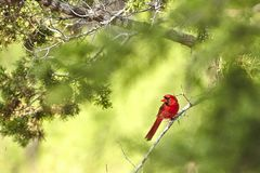 Cardinal. Northern cardinal male Royalty Free Stock Photography