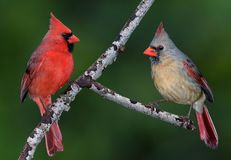 Cardinal Pair. A pair of cardinals are facing each other on a tree branch stock images