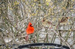 A Cardinal pair perches in a rose bush. A pair of Redbirds perch in a rose bush stock photo