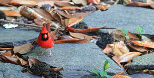 1 Cardinal-Pedra-esquerdo Foto de Stock Royalty Free