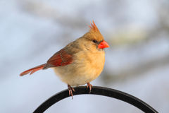 Cardinal On A Perch Royalty Free Stock Photos