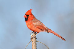 Cardinal On A Perch Royalty Free Stock Images