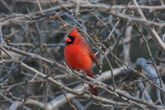 Cardinal On A Perch Stock Images