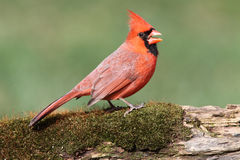Cardinal On A Perch with Moss Stock Photos