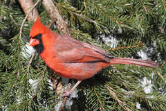 Cardinal On A Perch in Snow Royalty Free Stock Image
