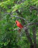 Cardinal Royalty Free Stock Photo