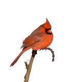 Cardinal perched on a branch. Looking for his partner royalty free stock photos