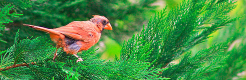 Cardinal Perched on branch Royalty Free Stock Photography