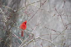 Cardinal perched on branch in snow Stock Photos