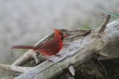 Cardinal perched on driftwood Stock Images