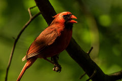 Cardinal Perched. In a leafy green forrest stock photography